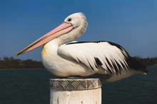 Close Up Of Pelican Resting On...