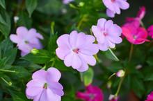 Impatiens Walleriana Pink Flowers
