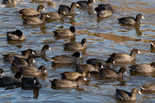 Group Of American Coots