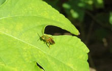 Tropical Green Bee On Leaf