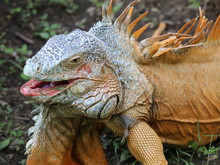 Iguana, Animal With Scaly Skin In Green And Orange Colors