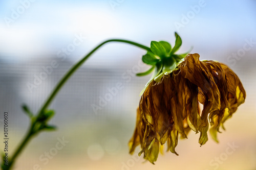 Valokuva Side view of wilted yellow dahlia with drooping petals