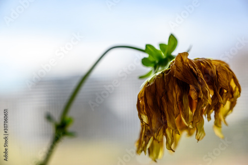 Photo Side view of wilted yellow dahlia with drooping petals