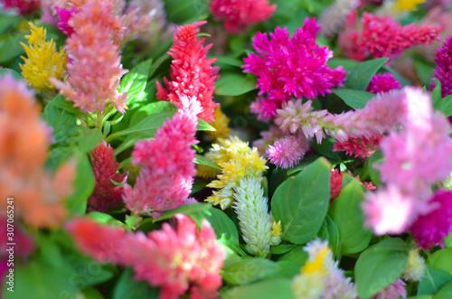 Fotografie, Obraz  Colorful Celosia argentea flowers