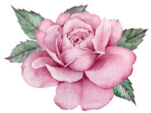 Pink Rose With Green Leaves. Colorful Watercolor Floral Composition. Hand-drawn Illustration.