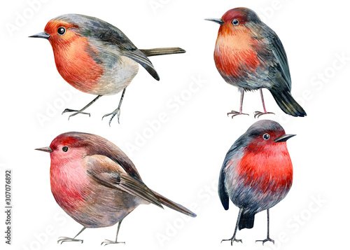 set of robin birds on an isolated white background, watercolor illustration, hand drawing, postcard