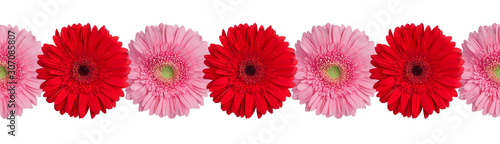 Fototapeta Red and pink gerbera flowers border on white background isolated close up, gerbe