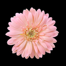 Beautiful Pink Daisy Gerbera F...
