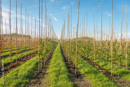Fototapeta Long converging rows in a tree nursery obraz