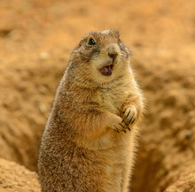 Portrait Of Prairie Dog (Cynomys Ludovicianus) With Opened Mouth Looking Confused