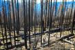 Yosemite Nationalpark, verkohlte Baumstämme nach dem Waldbrand