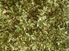 Close Up Of Variegated Green And White Leaves Of Ficus Benjamina, Cyprus