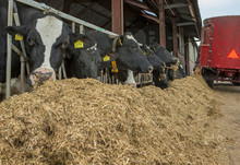 Cows At Stable. Farming. Netherlands. Eating Roughage. Cattle Feed. Feedmixer. At The Farm.