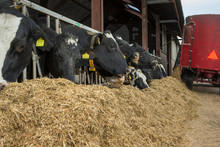 Cows At Stable Open Air. Farming. Netherlands. Eating Roughage. Cattle Feed. Feed Mixer. Feed Gate