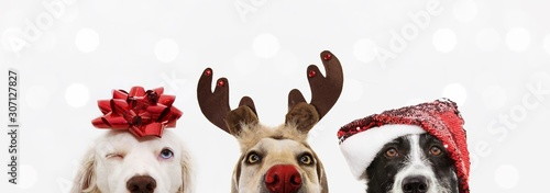 Fotomural banner close-up hide three dogs pet celebrating christmas wearing a reindeer antlers diadem, santa hat and red ribbon