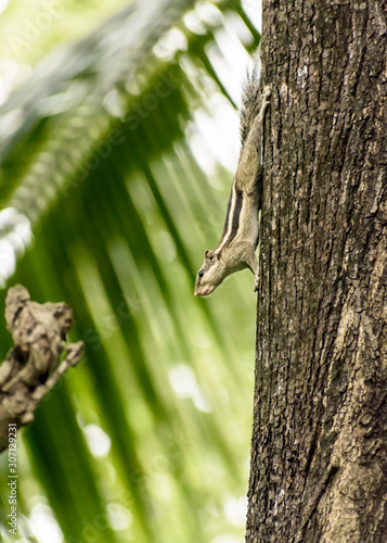 Photo A striped rodents marmots chipmunks squirrel (Sciuridae arboreal species of flying squirrels family) spotted on a tree trunk on hunting mood