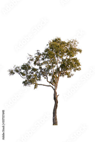 tree isolated from white background. Fototapet