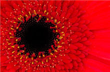 A Macro Image Of A Fresh Red Gerber Daisy Flower In A Studio With Selective Focus.