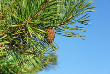 Pine Tree Branch With Pine Con...