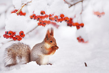 Winter Still Life. Squirrel Among The Branches Of A Tree With Red Berries In The Snow.