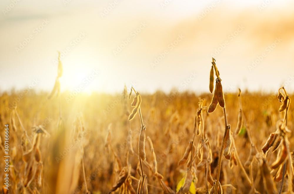 Fototapeta Ready for harvest ripe Soy pods on stem in the fields closeup view against sunlight summer time