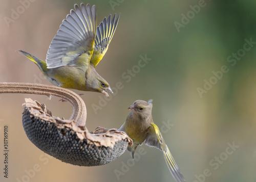 Valokuva Struggle between Greenfinch on sunflower (Chloris chloris)