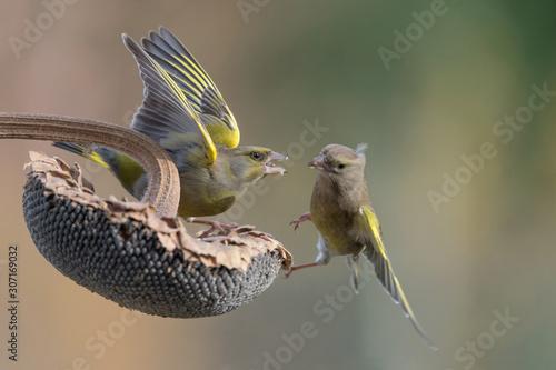 Valokuvatapetti Battle between Greenfinch on sunflower (Chloris chloris)