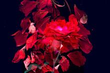 妖艶なバラの花びらの...