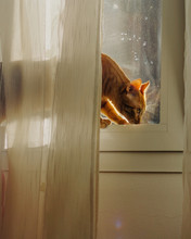 Orange Cat Standing At The Window With White Sheer Curtains