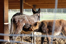 Couple Of Black Donkeys With A...