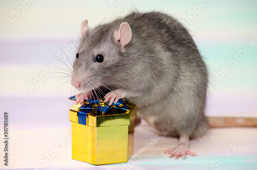 Fototapeta Gray festive rat on a rainbow background holds a golden gift box with a bow, con