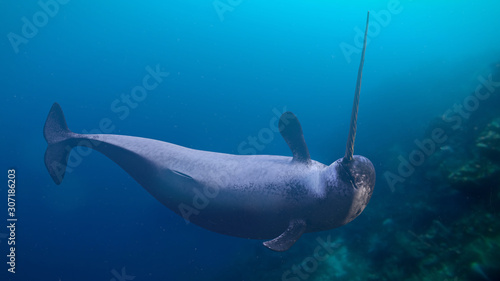 Foto Narwhal, Monodon monoceros swimming in the ocean