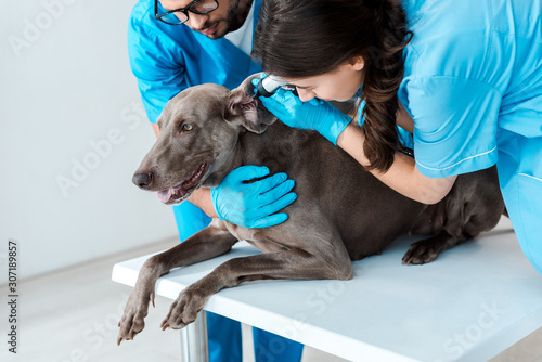 Photo young veterinarian holding weimaraner dog while colleague examining ear with oto