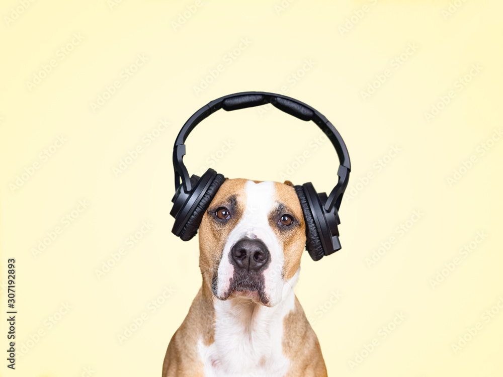 Fototapeta Dog in noise cancelling headphones, yellow isolated background. The concept of pets being afraid of loud noises or fireworks at holidays