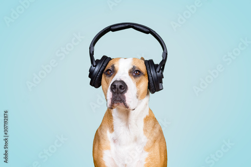 Dog in noise cancelling headphones, blue isolated background. The concept of pets being afraid of loud noises or fireworks - 307192876