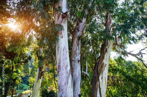 Fototapeta Eucalyptus trees in the park outdoors