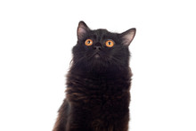 Adorable Black Persian Cat