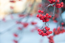 Frozen Rowan Berries, Natural Nature, Beautiful Background