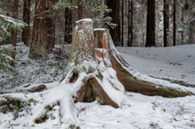 Big Stump In A Winter Forest, Snowy Roads And Trees In A Winter Day