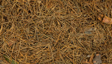 Natural Background Of Dry Pine Needles Of Pinus Canariensis On The Ground, View From Above With Copy Space.
