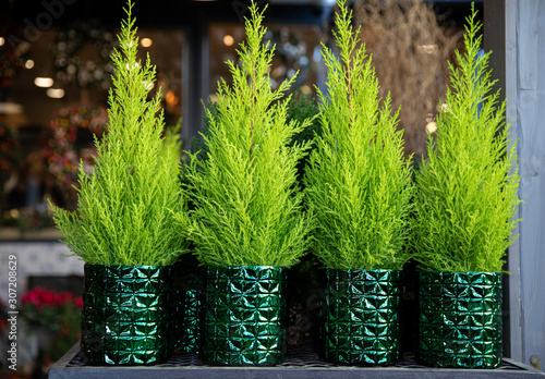 Row of four evergreen plants - cypress or lemon cypress trees in pots on the shelve at greek garden shop - Christmas decorations Fotobehang