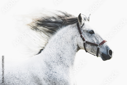 Carta da parati Andalusian horse running with manes with white background