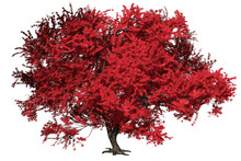 Momiji Japanese Maple Tree Wit...