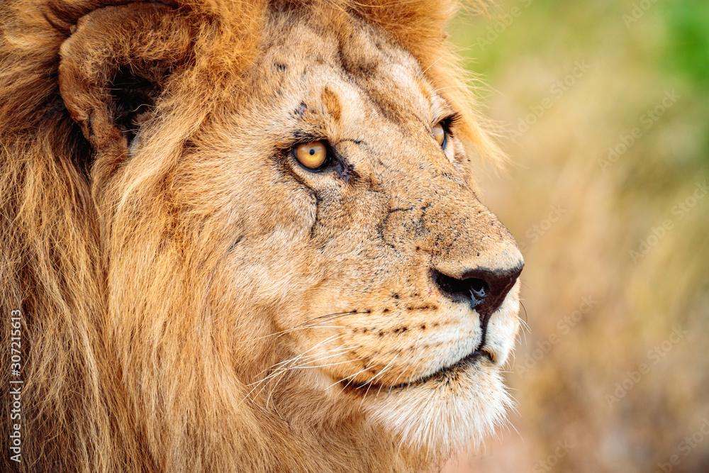 Fototapeta Closeup shot of a lion in Serengeti, Tanzania with a blurred background