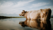 Gray Cattle Standing On Calm W...