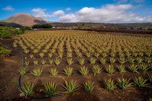 Cultivation Of Aloe In The Nor...