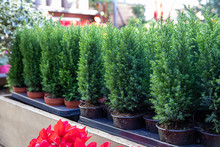 Variety Of Evergreen Plants - Chamaecyparis Lawsoniana Ellwoodii Cypress Trees In Pots On The Shelve At Greek Garden Shop - Natural Christmas Decorations.