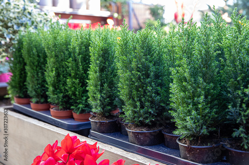 Canvastavla Variety of evergreen plants - Chamaecyparis lawsoniana Ellwoodii cypress trees in pots on the shelve at greek garden shop - natural Christmas decorations