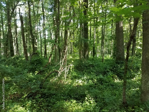 green leaves and trees with vines in forest or woods