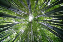 Low-angle Photo Of Bamboo Plants